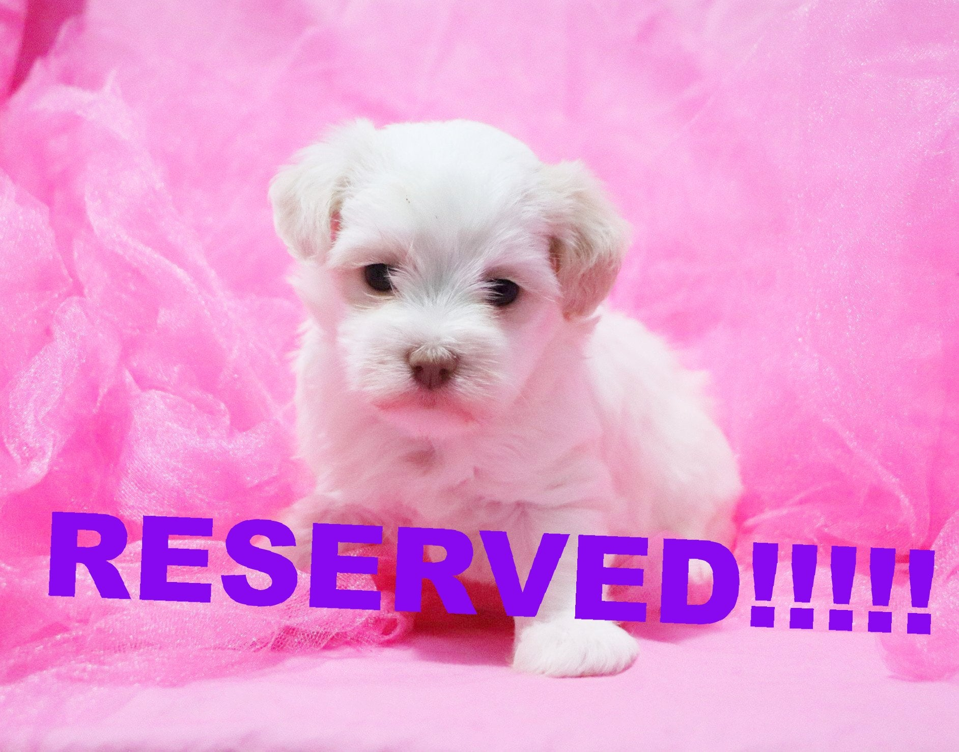 Honey Female Teacup Havanese Puppy*