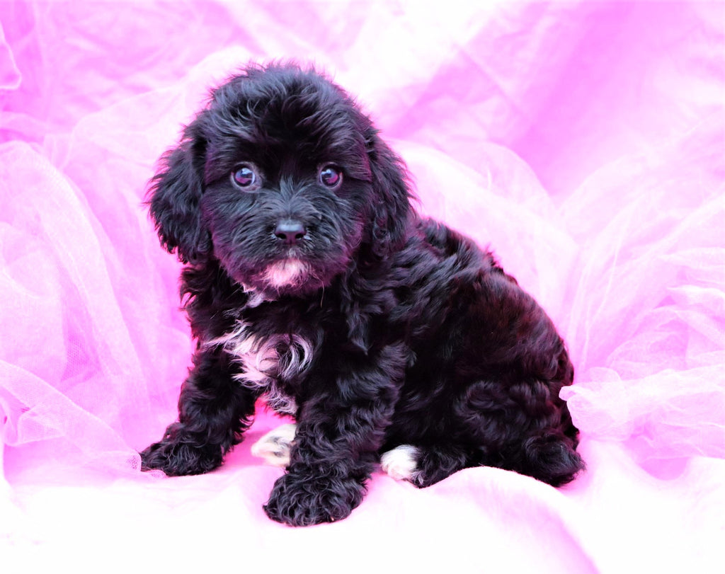 Allison Female Cavapoo Puppy