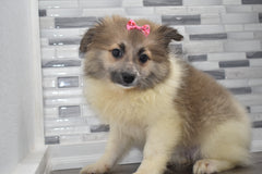 Rosie Female Teacup Pomeranian Puppy