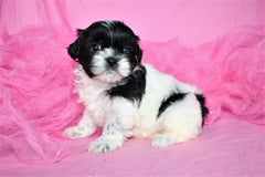 Bailey Female Imperial Shih Tzu Puppy*