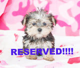Babette Female Teacup Morkie Puppy