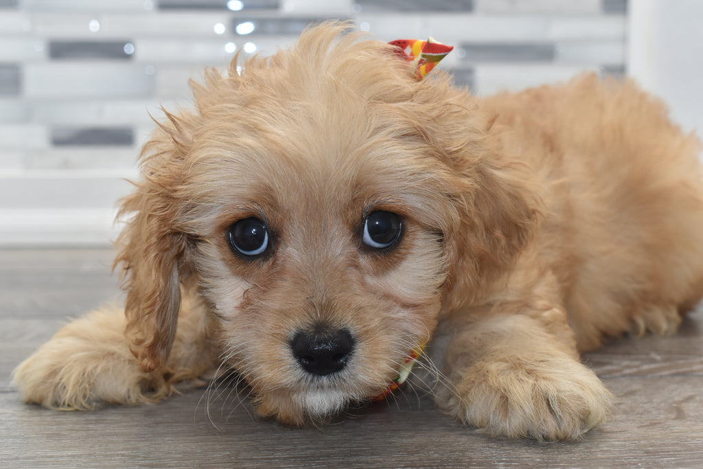 Alfalfa Male Cavapoo Puppy