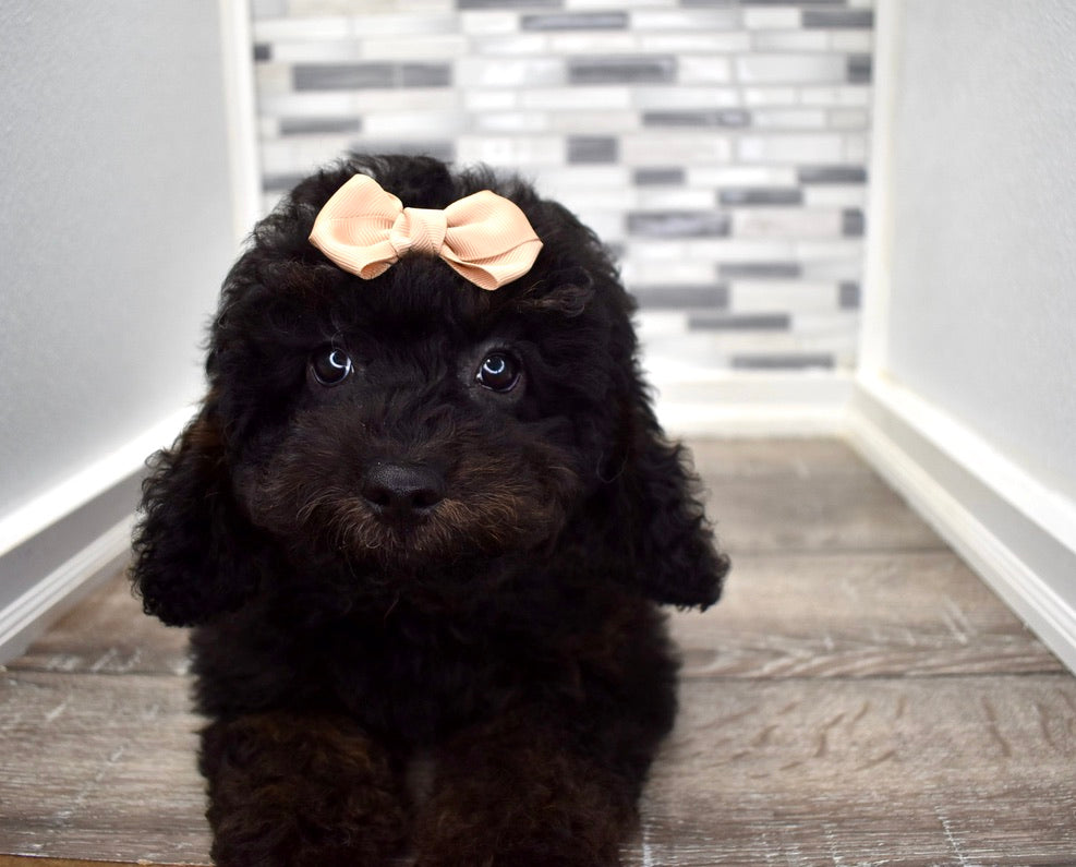 *RESERVED* Cheer Female F1B Cavapoo Puppy