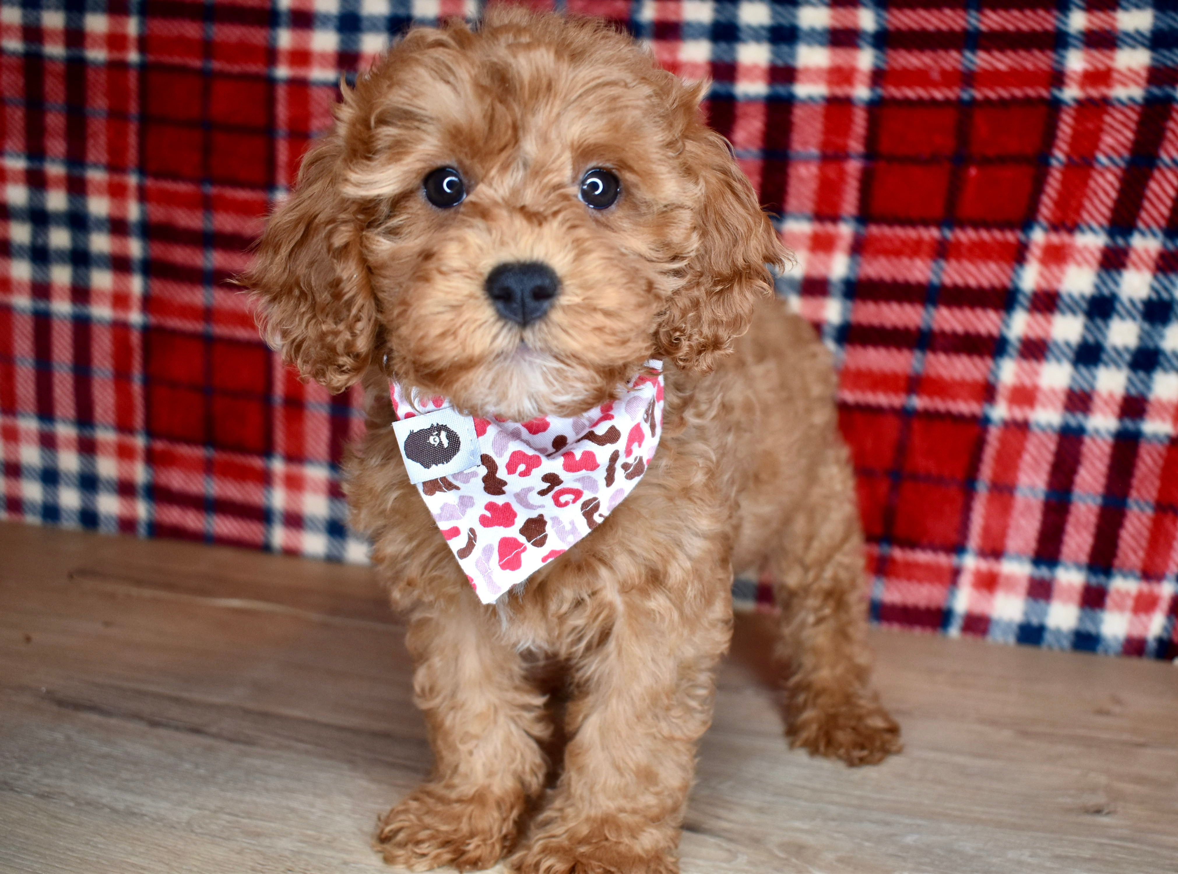 *RESERVED*Lassie Female F1B Cavapoo Puppy