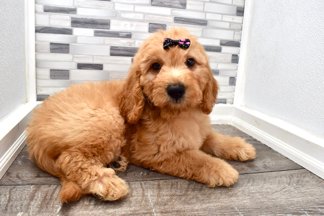 *RESERVED*Buttercup Female F2 Mini Goldendoodle Puppy