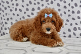 Phoebe Female F1B Cavapoo Puppy