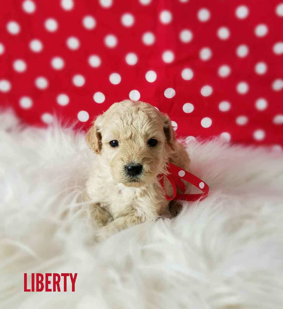 Liberty Female Miniature Goldendoodle Puppy*