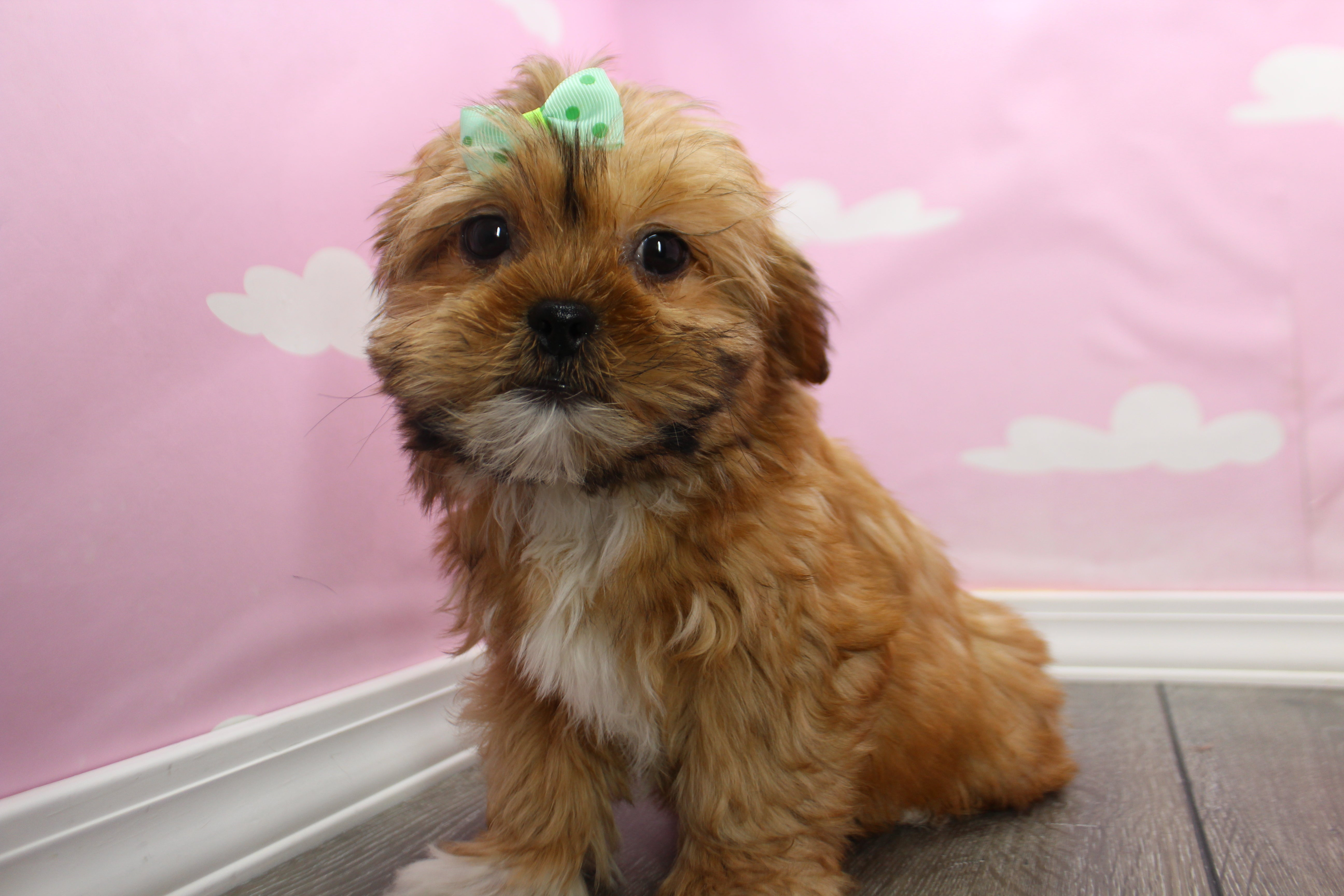 **RESERVED**Arizona Female Teacup Shorkie Puppy