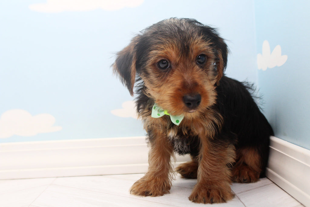 * RESERVED* Michaelangelo Male Teacup Yorkie Puppy