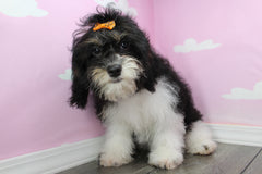 Ella Female *Trained* Cavapoo Puppy