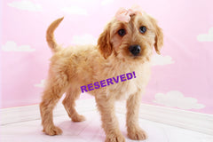 Peach Female Miniature Goldendoodle Puppy