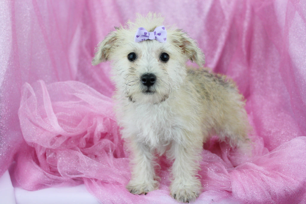 Libby Female Miniature Schnoodle Puppy