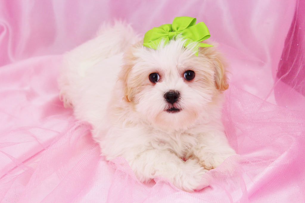 Cavapoo Puppies For Sale In Nc
