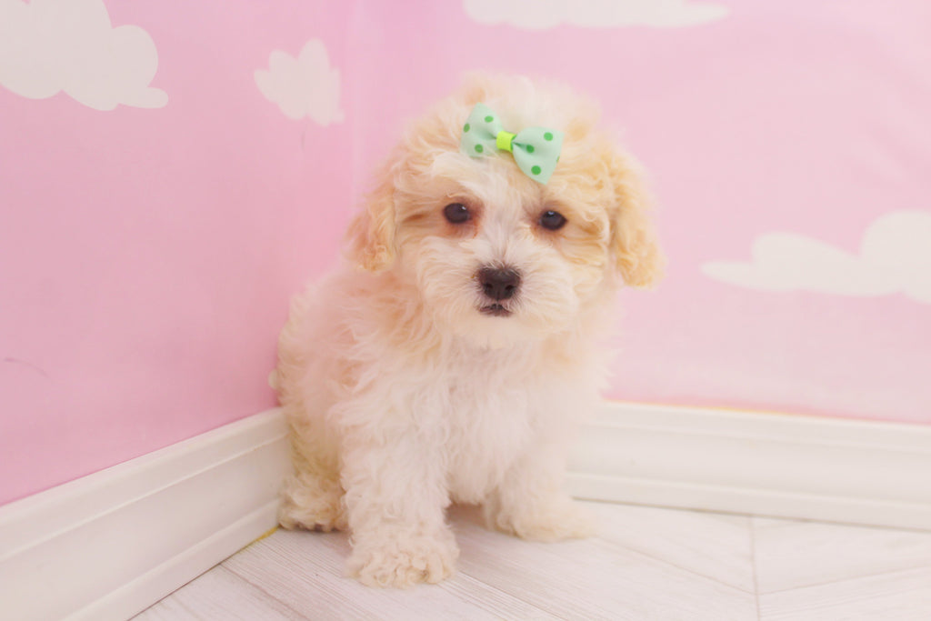 Dolly Female Teacup Teddy Bear Puppy