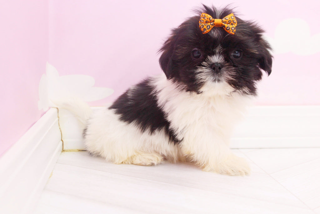 Pandora Female Teacup Teddy Bear Puppy