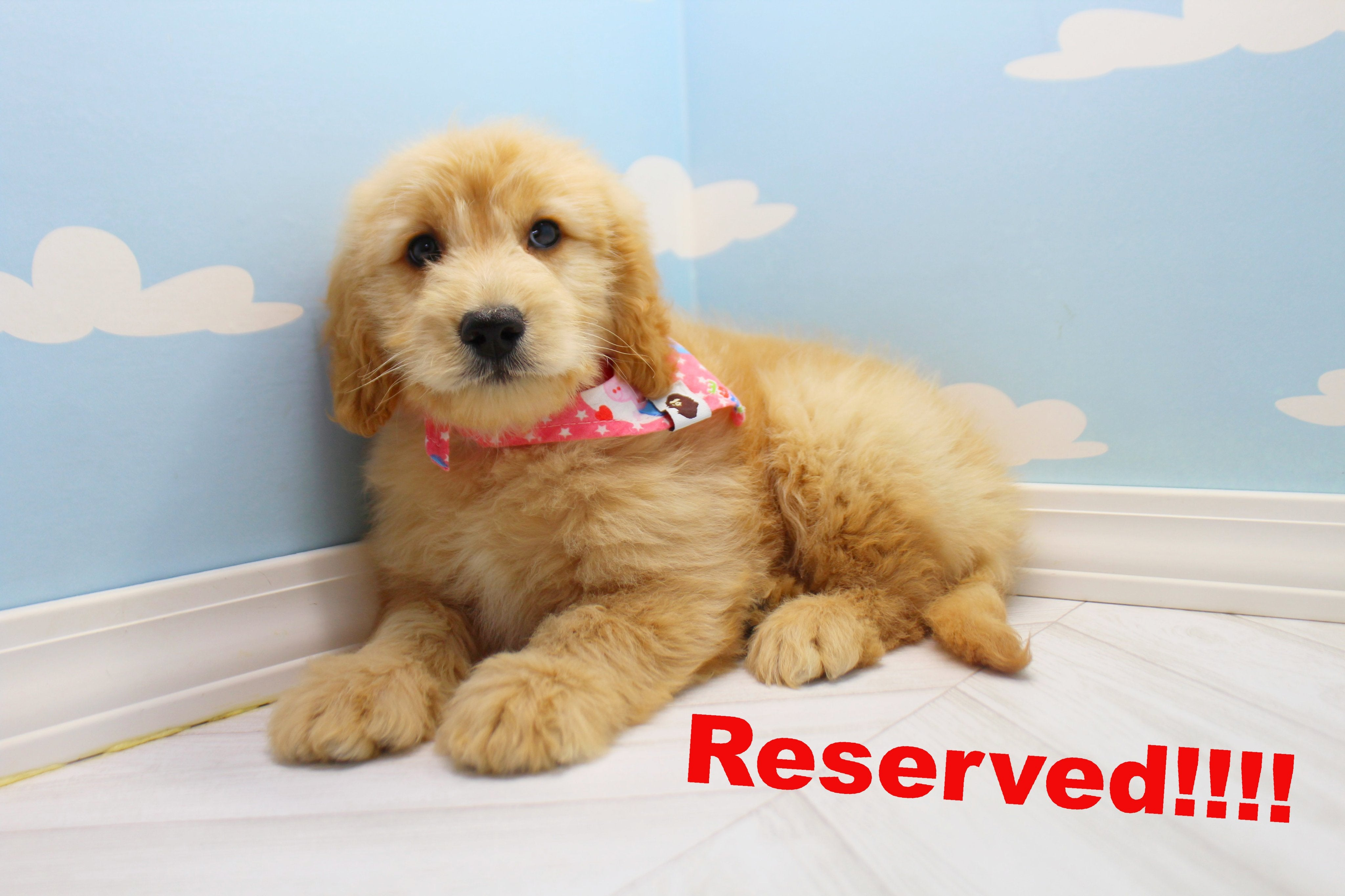 Banana Male Miniature Goldendoodle Puppy