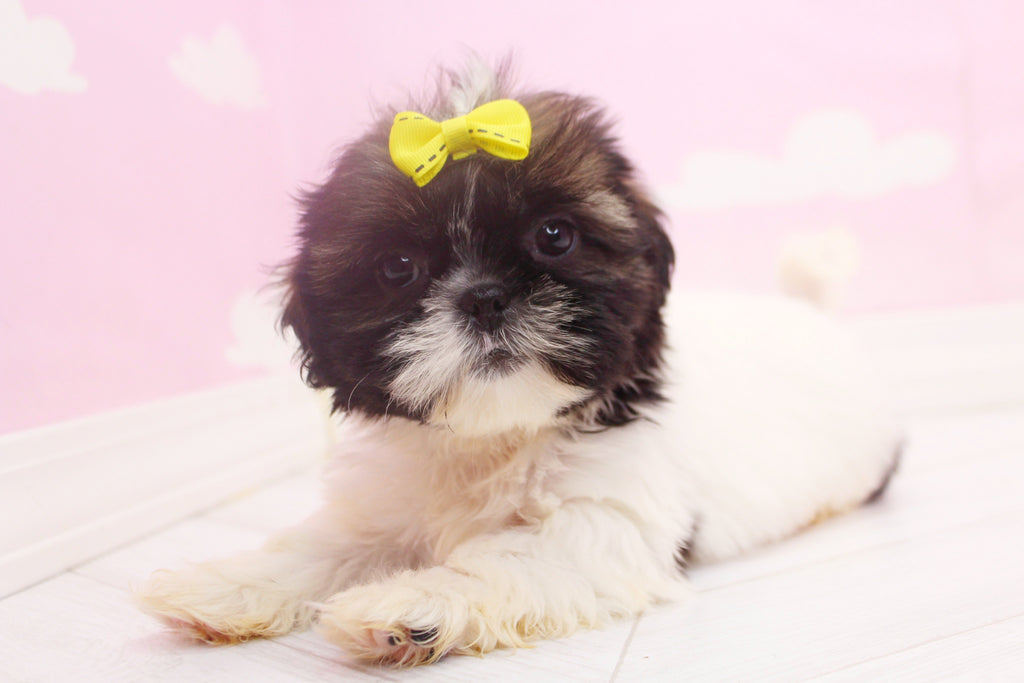 Eclipse Female Teacup Teddy Bear Puppy
