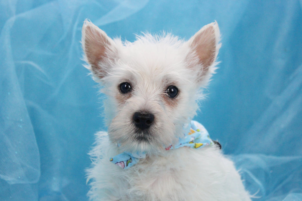 West highland white terrier puppies for sale happytail puppies - Imperial westies ...