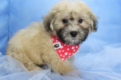 Lucas Male Teacup Teddybear Puppy