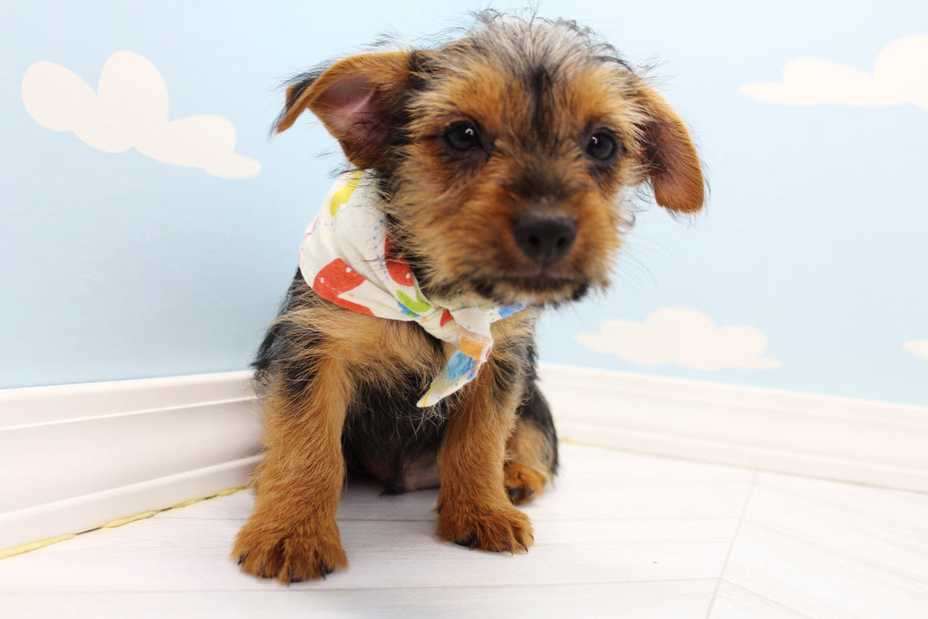 Rohan Male Teacup Yorkie Puppy