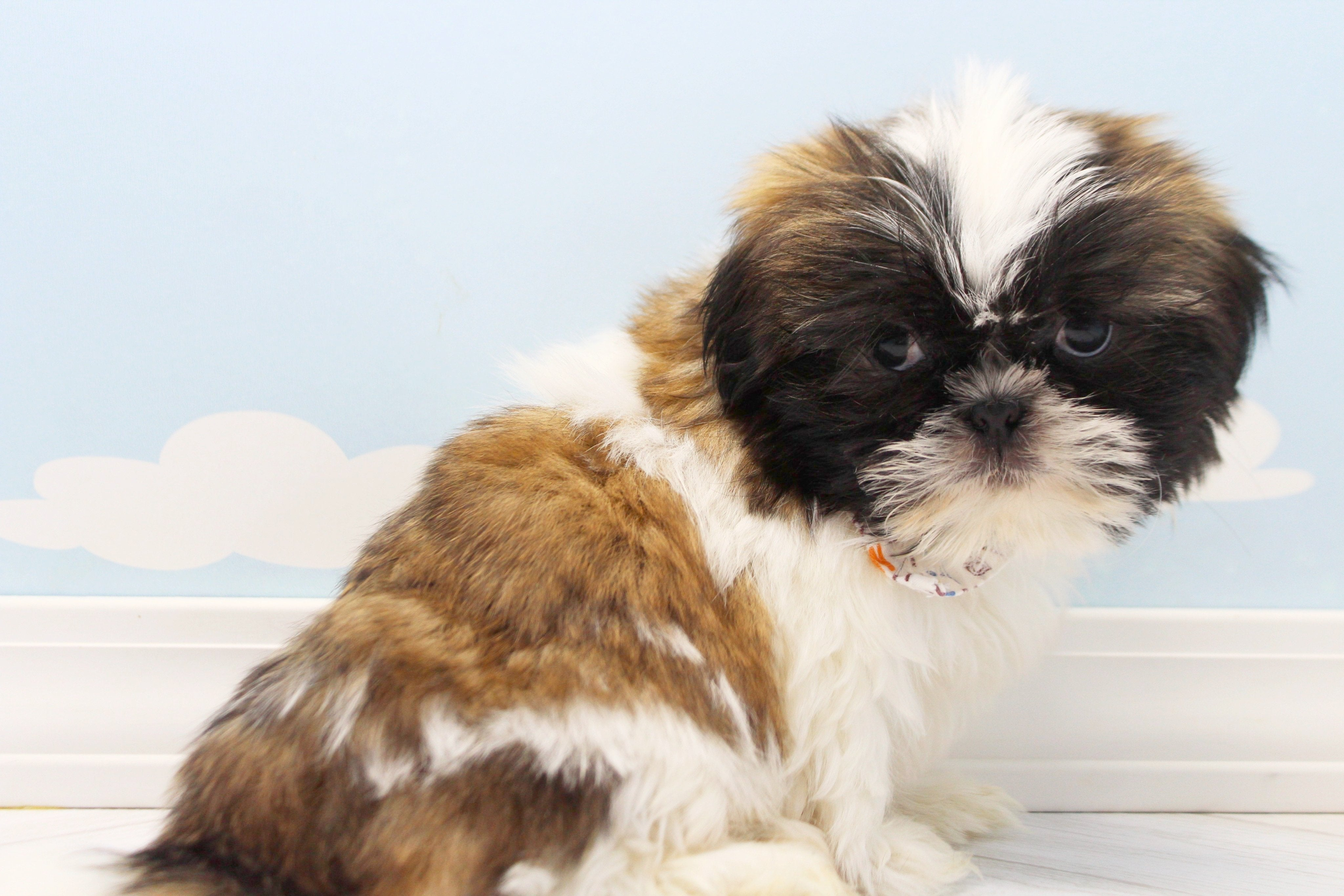 Elmo Male Imperial Shih Tzu Puppy