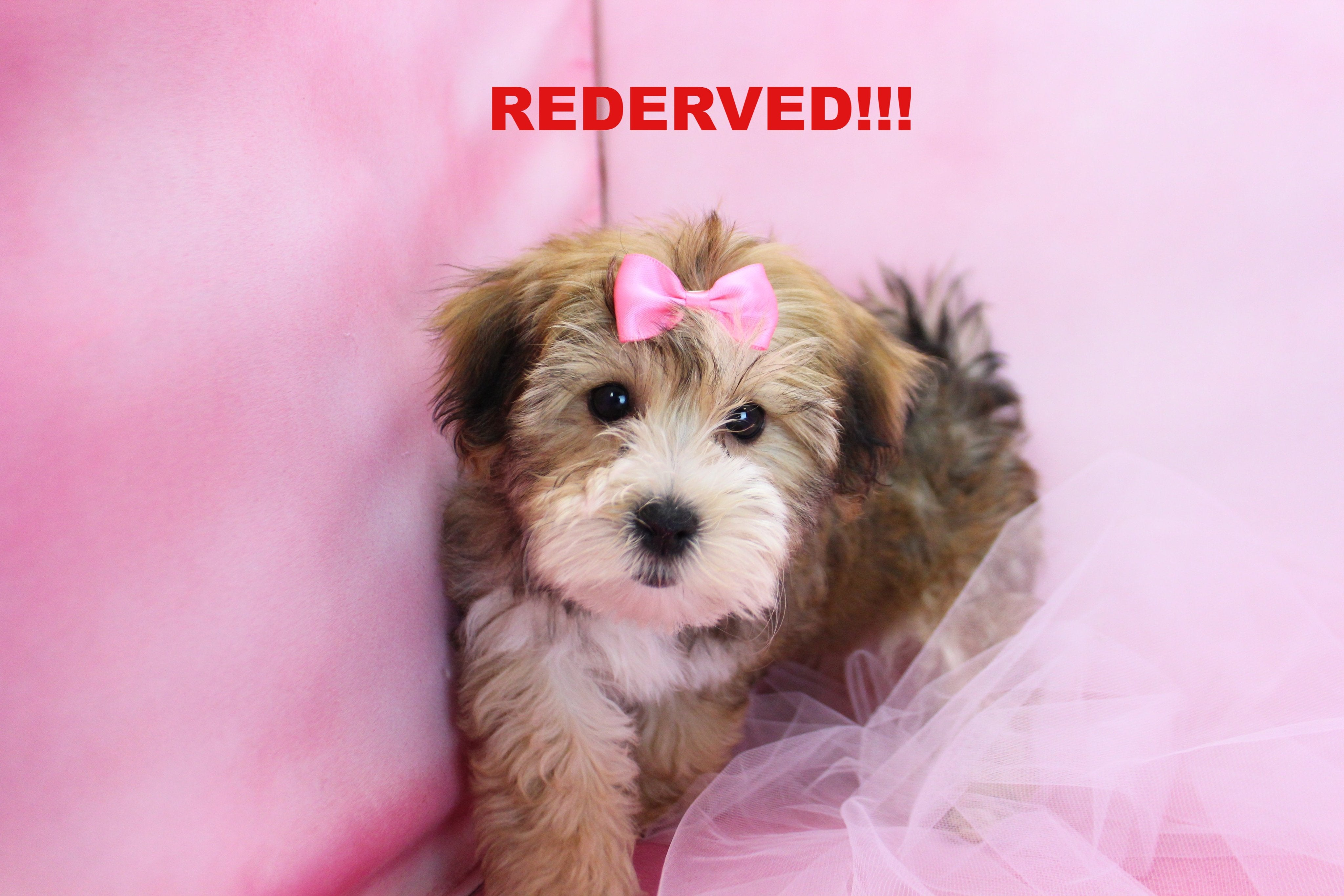 Liberty Female Teacup Morkie Puppy