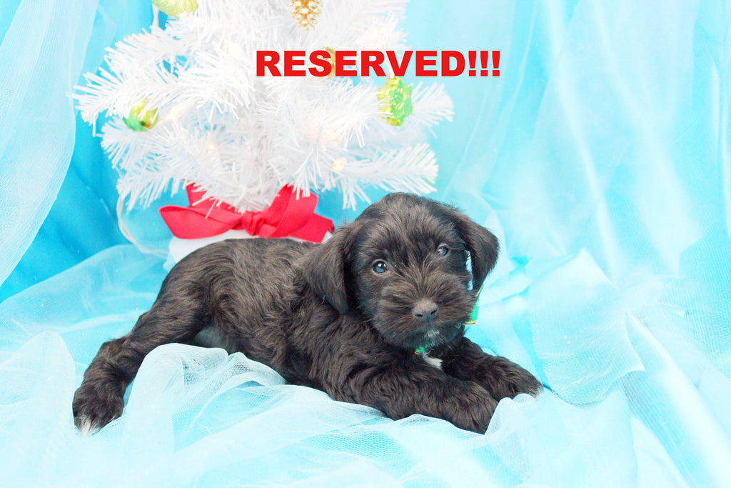 Tinsel Male Miniature Schnoodle Puppy