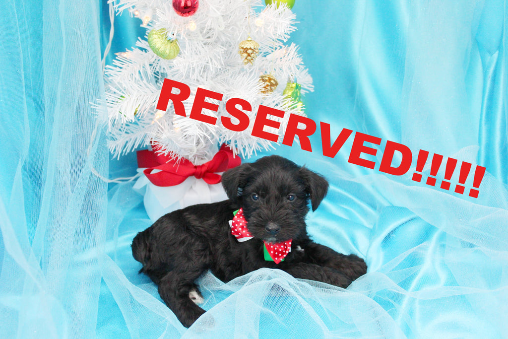 Kringles Male Miniature Schnoodle Puppy
