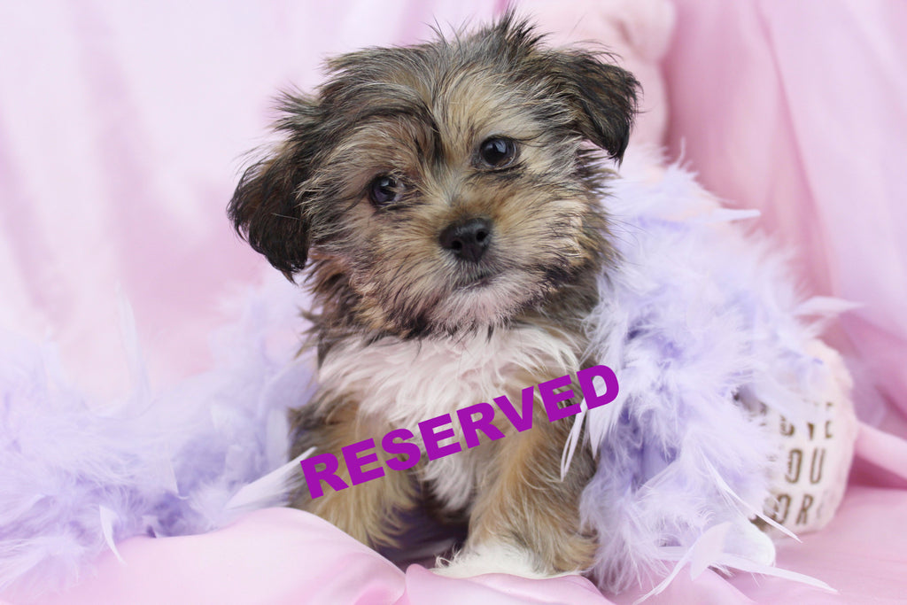 Lizzie Female Teacup Shorkie Puppy