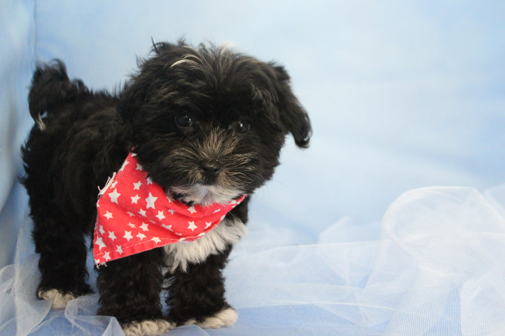 Aiden Male Teacup Morkie Puppy