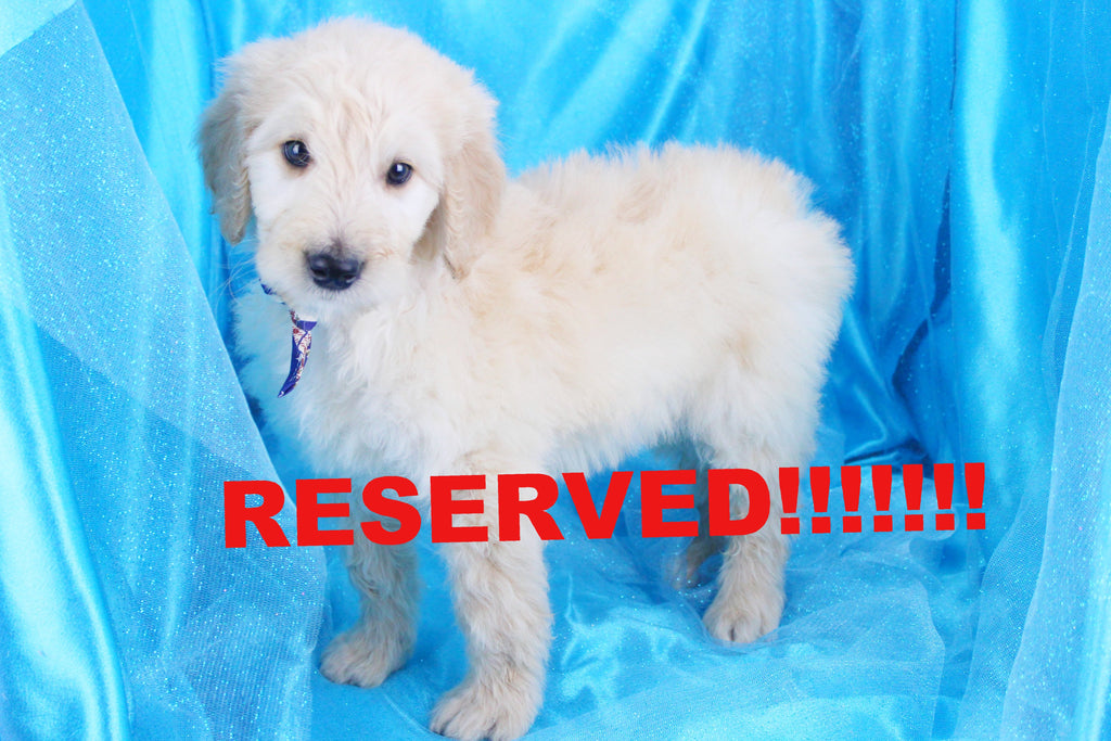 Ralph Male Standard Goldendoodle Puppy