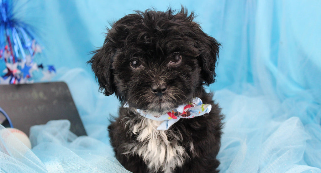 Mitt Male Teacup Shihpoo Puppy