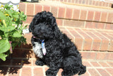 Simpson Male Miniature Bernedoodle Puppy