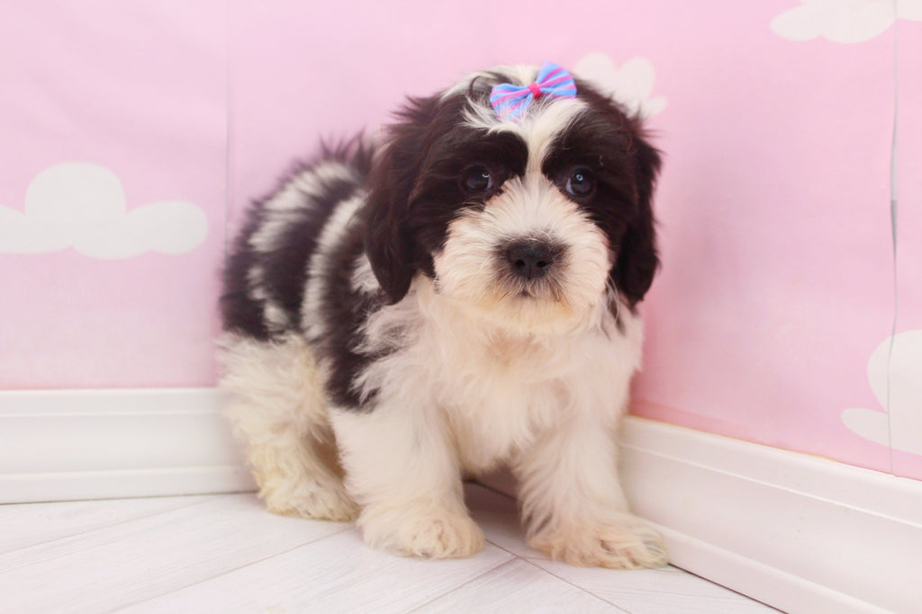 Frisky Female Teacup Teddy Bear Puppy
