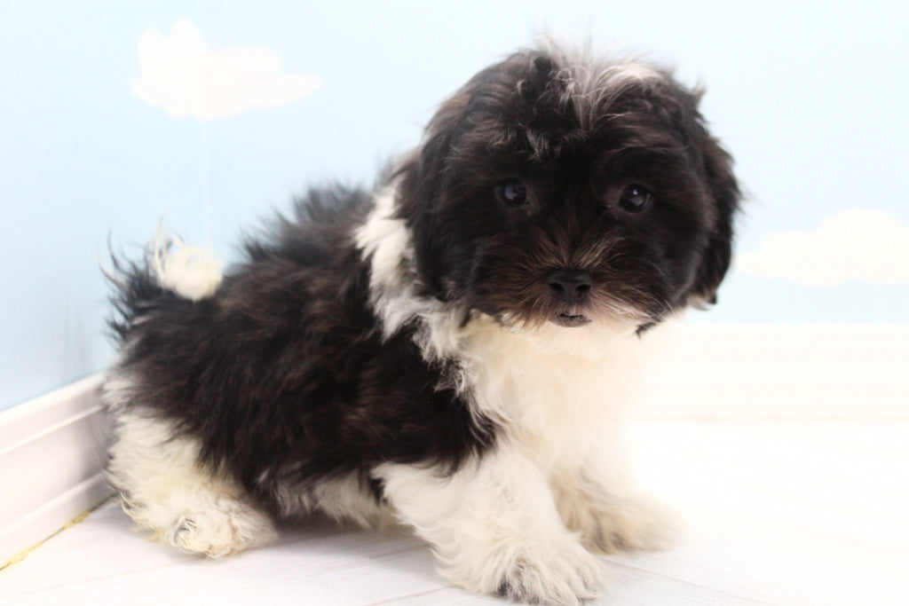 Figaro Male Teacup Teddy Bear Puppy