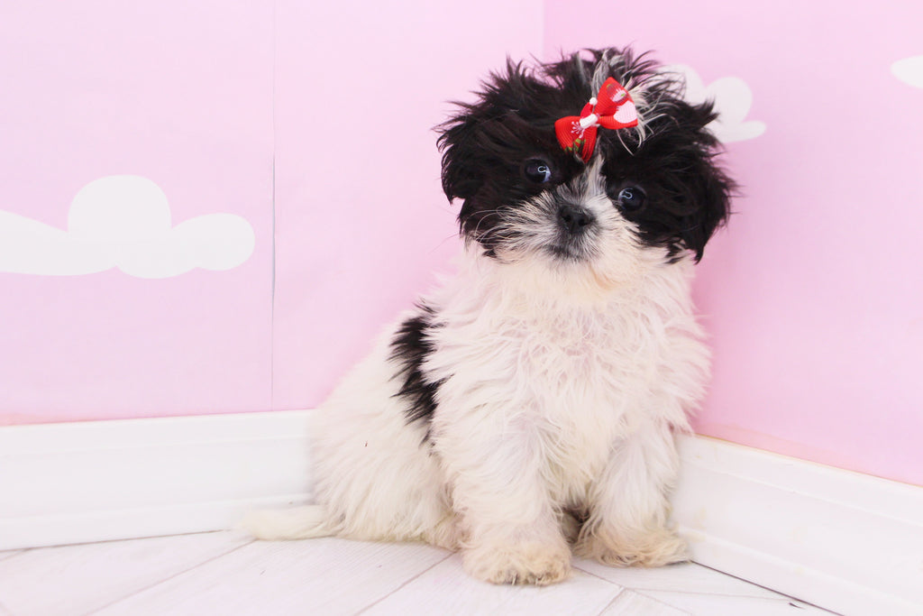 Paisley Female Imperial Shih Tzu Puppy