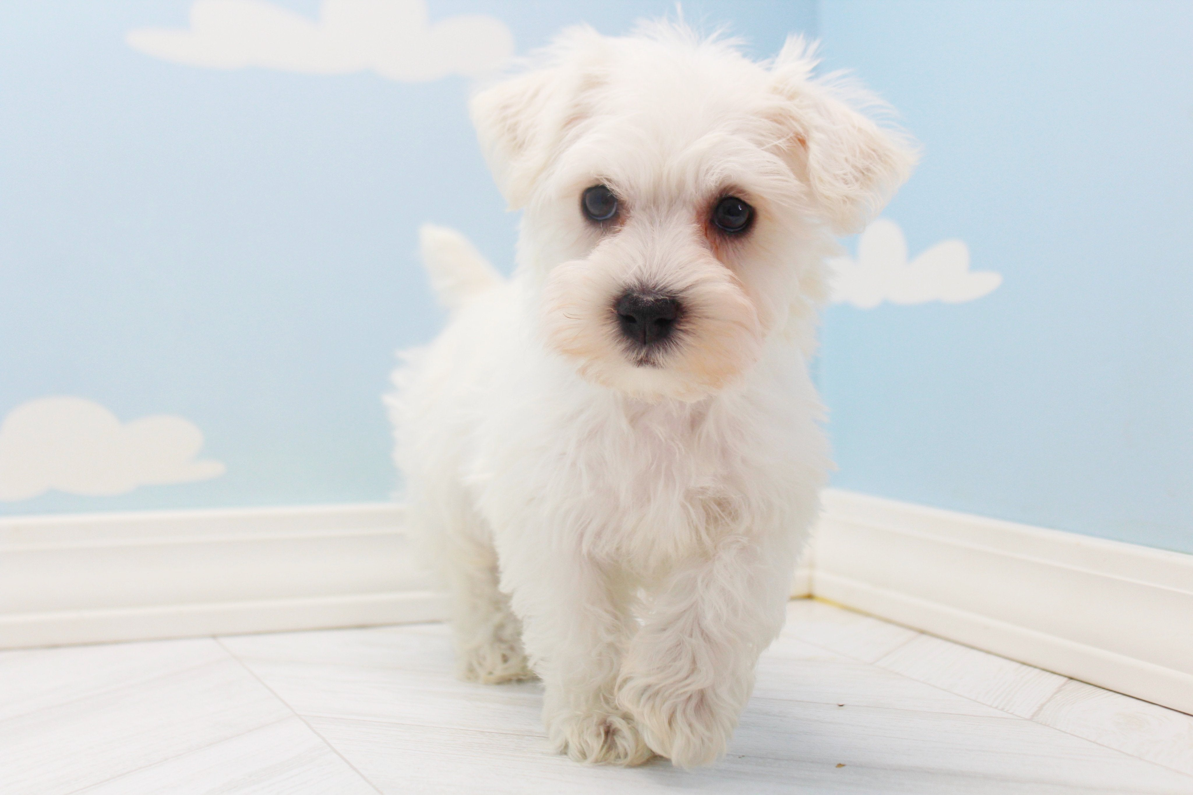 **RESERVED**Churchill Male Miniature Schnoodle Puppy