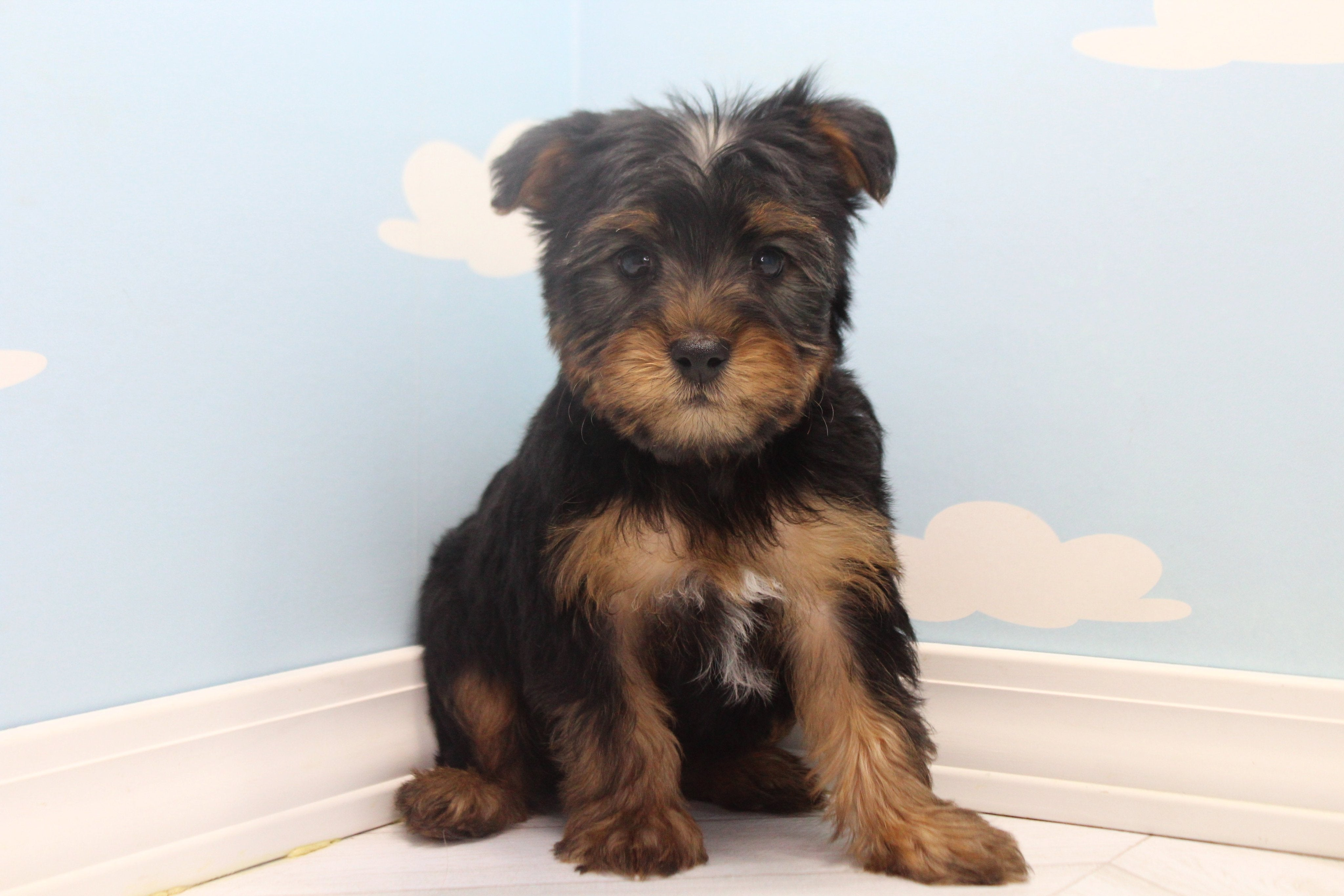 *RESERVED* Sushi Male Teacup Yorkie Puppy