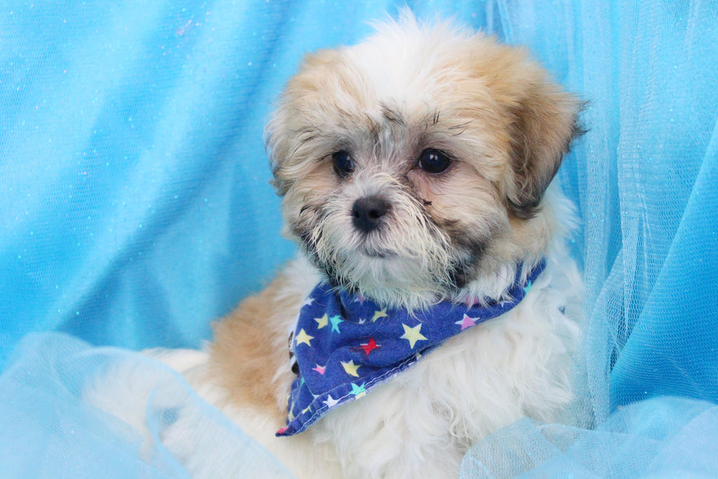 Jojo Female Teacup Teddy Bear Puppy