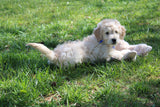 Brantly Male Miniature Goldendoodle Puppy