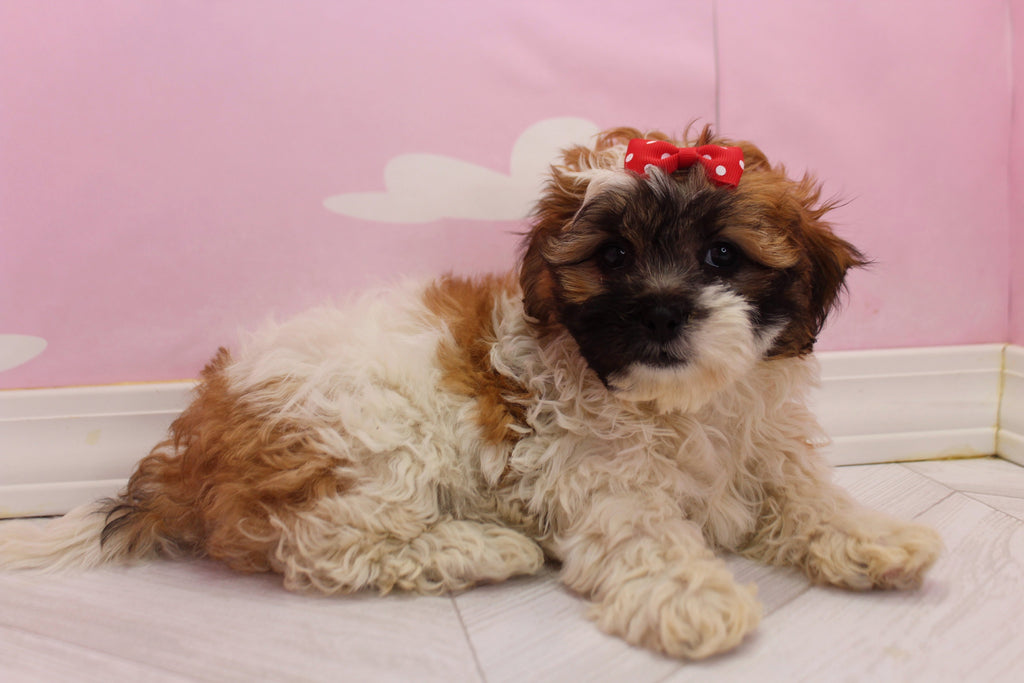 Scuba Female Teacup Teddy Bear Puppy
