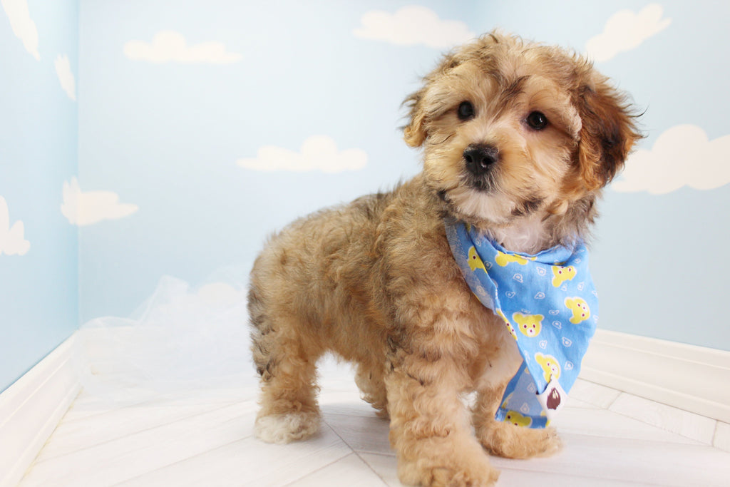 Flynt Male Teacup Morkie Puppy