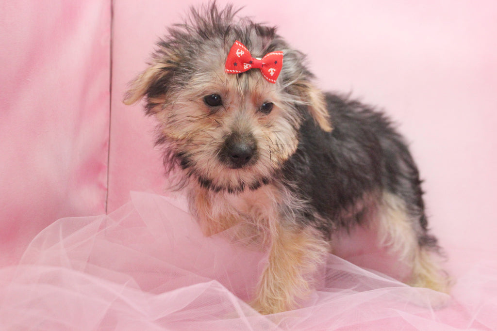 Gracen Female Teacup Morkie Puppy