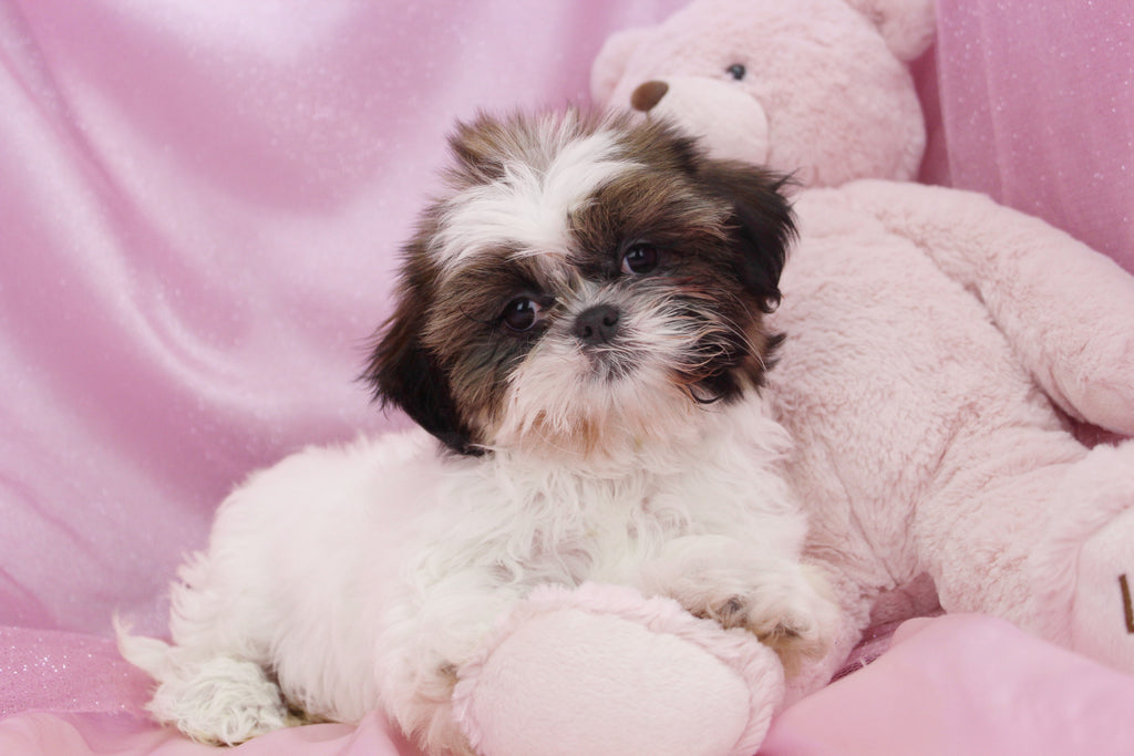 Mazzi Female Imperial Shih Tzu Puppy