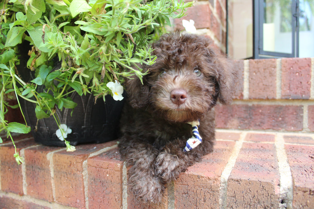 Moose Male Miniature Chocolate Schnoodle Puppy