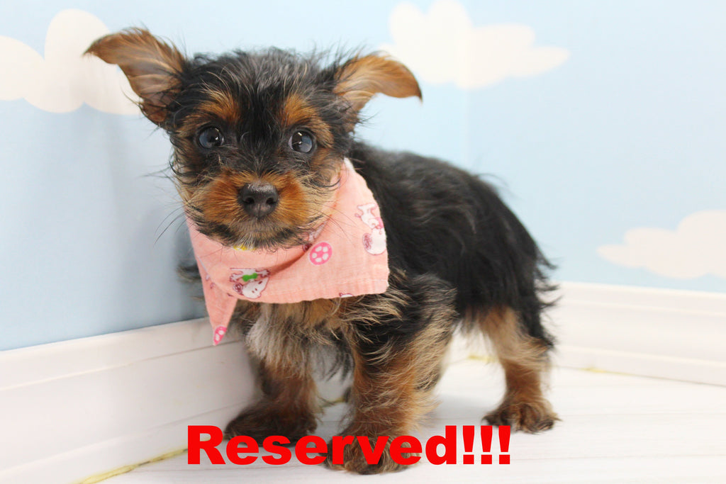 Yorkie Puppies For Sale In North Carolina