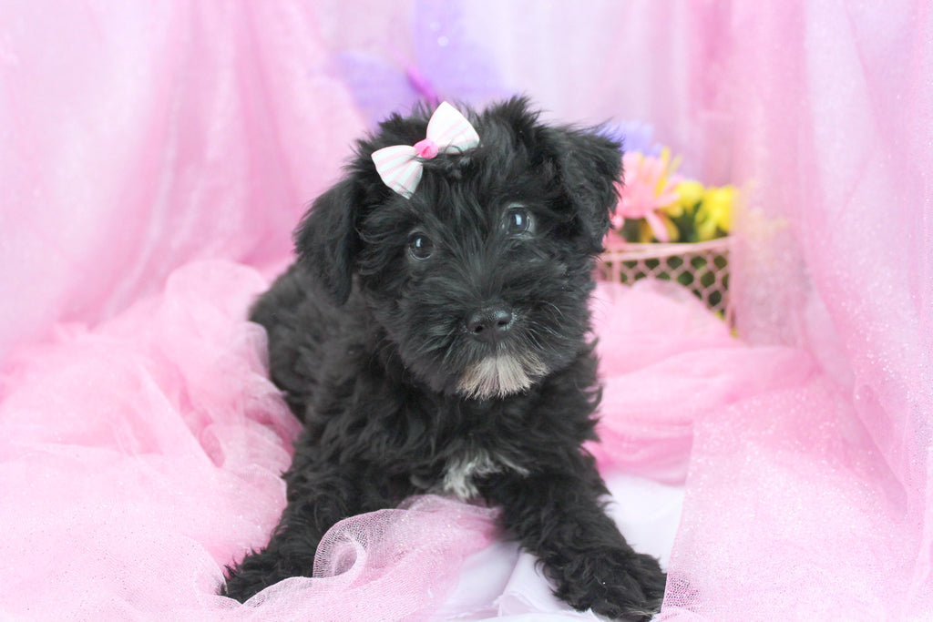 Kitty Female Miniature Schnoodle Puppy