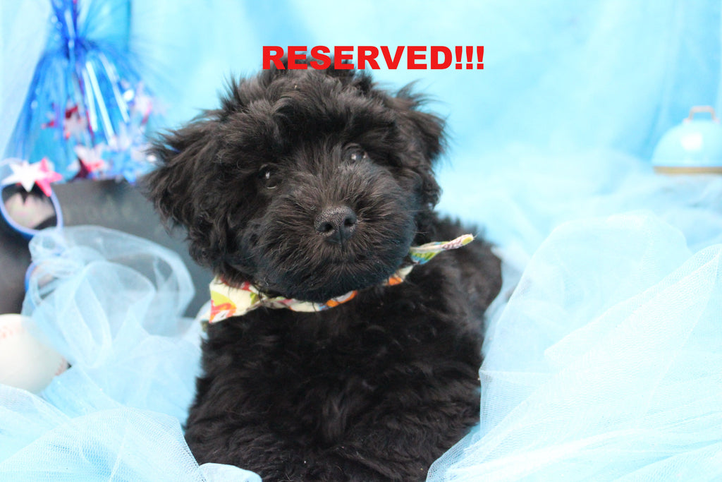 Blade Male Miniature Schnoodle Puppy