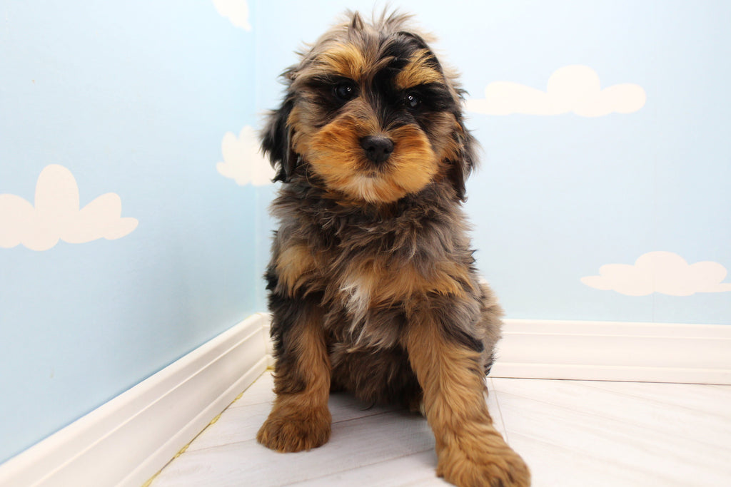 **RESERVED** Hook Male Miniature Aussiedoodle Puppy