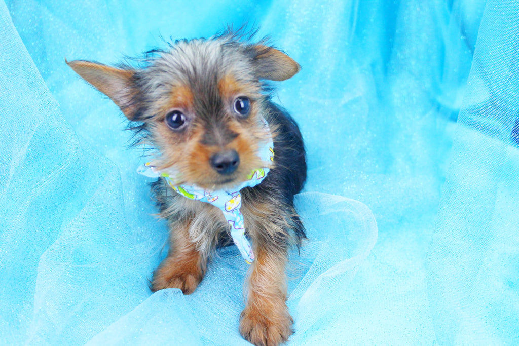 Flash Male Teacup Yorkie Puppy